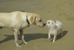 Labrador and maltese dog. At beach greeting each other Royalty Free Stock Image