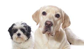Labrador and maltheser shi tzu Stock Images
