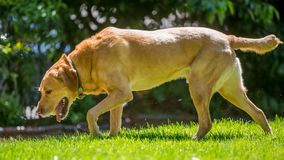 Labrador marchant au côté au-dessus de l'herbe sur une tête de jour ensoleillé vers le bas photographie stock libre de droits