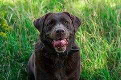 Labrador marrón Imágenes de archivo libres de regalías