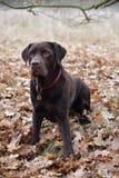 Labrador marrón Fotos de archivo libres de regalías