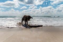 Labrador marrom molhado bonito que joga com uma vara em uma praia em México Imagens de Stock