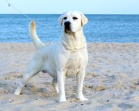 Labrador masculino amarillo y el mar Imagenes de archivo