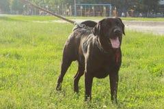 Labrador masculino preto grande Imagem de Stock Royalty Free