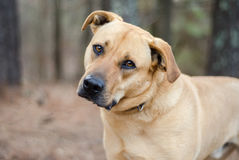 Labrador Mastiff mixed breed large dog. Tan with black muzzle Labrador Mastiff mixed breed large dog, head tilt, outdoor adoption photo, Walton County Animal stock photography