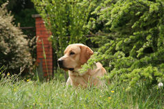 Labrador in the meadow Stock Images