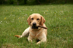 Labrador in the meadow. Young labrador retriever sitting on the grassy meadow stock image