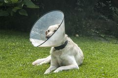 Labrador med den medicinska kragen royaltyfria bilder