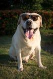Labrador med solglasögon i trädgården Royaltyfria Bilder