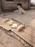 Labrador med valpar Arkivfoton