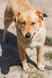 Labrador mestizo lindo que se relaja en un parque soleado, perro marrón en un l Imagen de archivo libre de regalías