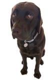 Labrador mignon avec de grands yeux désolés Images stock