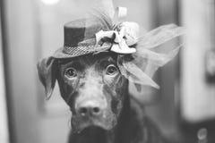 Labrador mignon avec le style de couleur du fond B&W de tache floue de séance de chapeau photo libre de droits