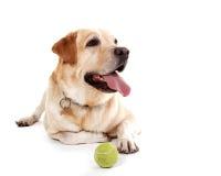 Labrador mit dem Ball, der im weißen Studio aufwirft Stockfoto