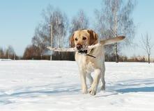 Labrador mit Steuerknüppel am Winter Stockfotografie