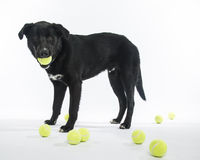 Lab Mix Loves Tennis Balls Stock Photos