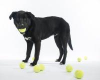 Lab Mix Loves Tennis Balls. Labrador mix loves to play with tennis balls stock photos