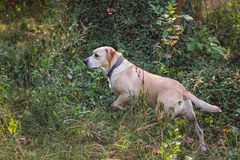 Labrador mixed breed dog pointing in a wooded area Royalty Free Stock Image