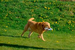 Labrador running with plastic bottle royalty free stock photos