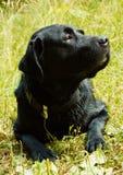 Labrador mojado negro después del baño. Foto de archivo