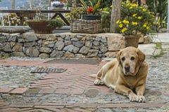 Labrador Mongrel Stock Photo
