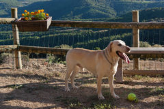 Labrador in the mountains Royalty Free Stock Photo