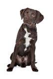 Labrador,Munsterlander Stock Image