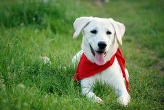 Labrador na grama Imagem de Stock Royalty Free