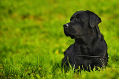 Labrador na grama Foto de Stock Royalty Free