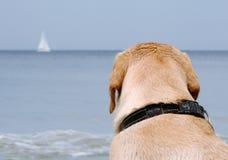 Labrador na praia Imagens de Stock Royalty Free