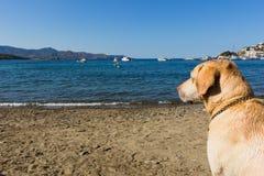 Labrador na praia fotografia de stock royalty free
