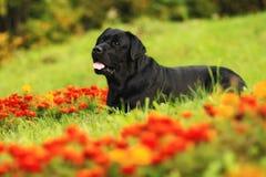Labrador nas flores Foto de Stock