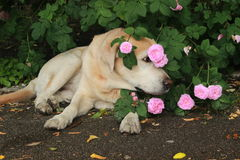 Labrador nas rosas Imagem de Stock Royalty Free