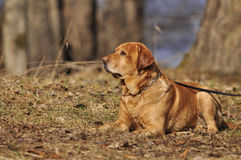 Labrador in nature Stock Photos