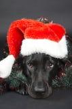 Labrador negro imagen de archivo libre de regalías