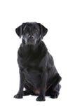 Labrador negro Fotos de archivo libres de regalías