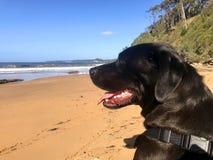 Labrador negro en la playa Fotografía de archivo libre de regalías