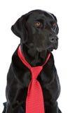 Labrador negro en lazo rojo imagenes de archivo