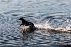 Labrador negro grande que corre a través del agua Foto de archivo libre de regalías