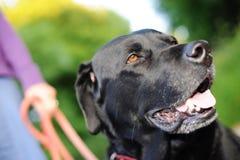Labrador negro hacia fuera para una caminata Imagen de archivo libre de regalías