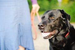 Labrador negro hacia fuera para una caminata Fotos de archivo
