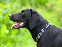 Labrador negro mira cansadamente Imagen de archivo