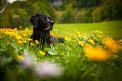Labrador negro que coloca en campo de flores amarillo foto de archivo