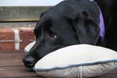 Labrador negro que descansa sobre una almohada Foto de archivo