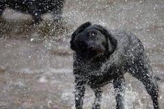 Labrador negro que sacude el agua Foto de archivo libre de regalías