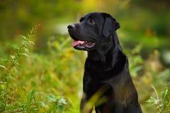 Labrador negro que se sienta en la hierba imagen de archivo
