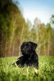 Labrador negro serio que está situado en la hierba Fotografía de archivo