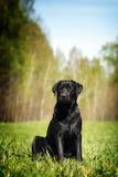 Labrador negro serio que se sienta en la hierba Imagen de archivo