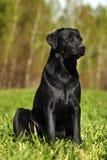 Labrador negro serio que se sienta en la hierba Imagen de archivo libre de regalías