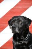 Labrador negro viejo Imágenes de archivo libres de regalías